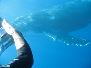 baleine, fond marin, réunion, saint denis, hôte, chambre, sortie marine, plongée